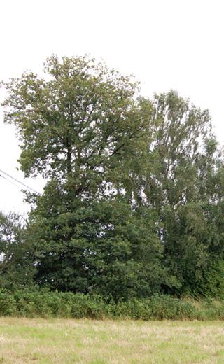 arbreducentenaire